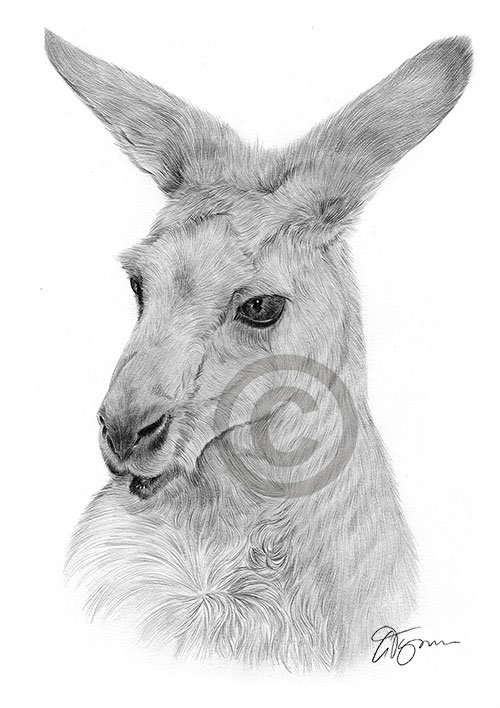 Kangaroo pencil drawing thumbnail