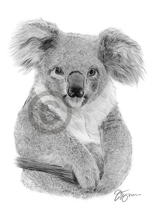 Koala Bear pencil drawing thumbnail