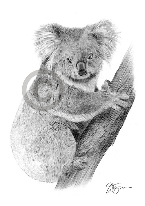 Koala pencil drawing thumbnail