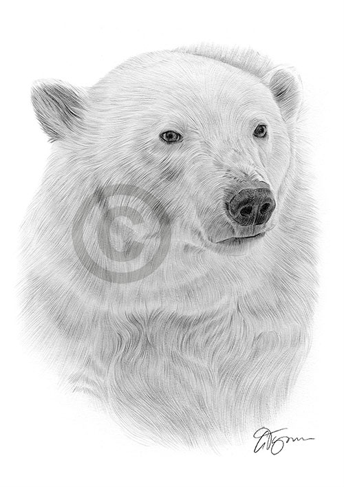 Polar Bear pencil drawing thumbnail