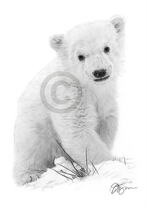 Polar Bear cub pencil drawing thumbnail