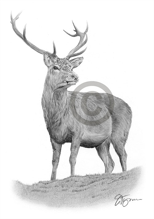 Red Deer pencil drawing thumbnail