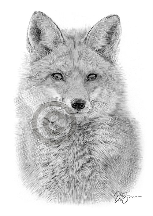 Red Fox pencil drawing thumbnail