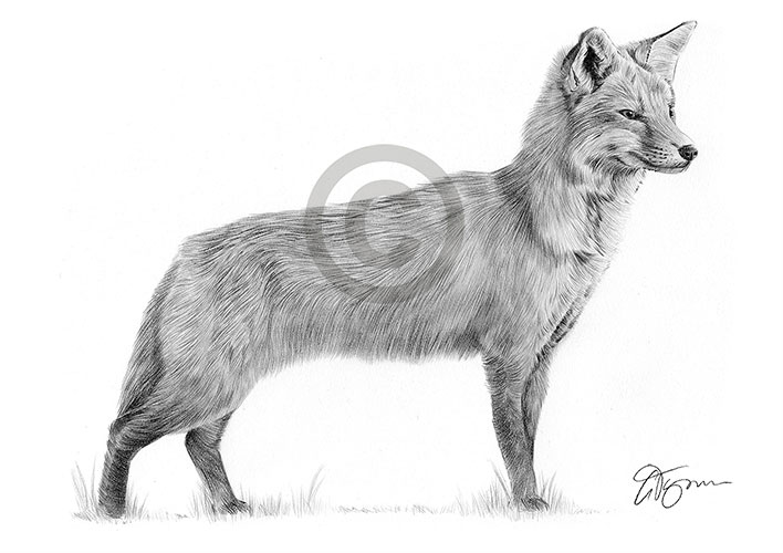 Full-body Red Fox pencil drawing thumbnail