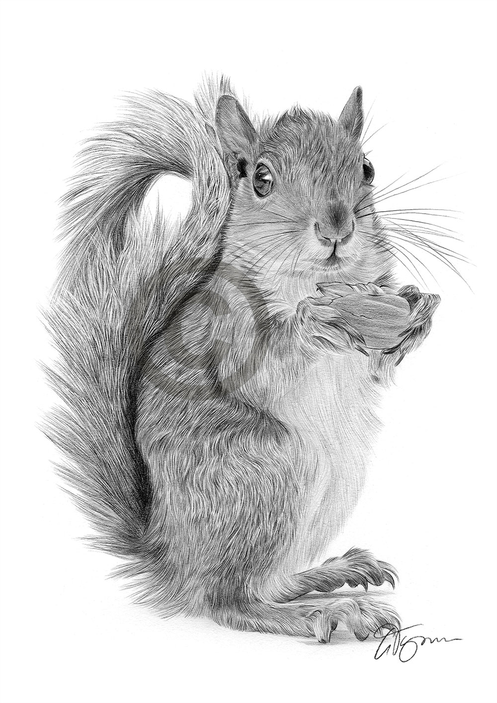 Pencil drawing of a red squirrel by artist Gary Tymon