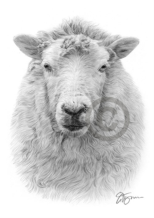 Sheep pencil drawing thumbnail