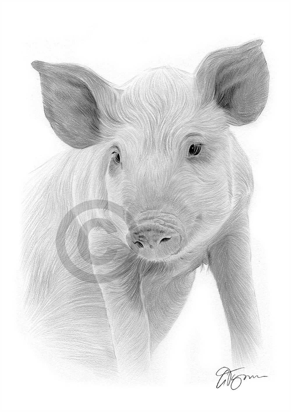 Pig pencil drawing by artist Gary Tymon