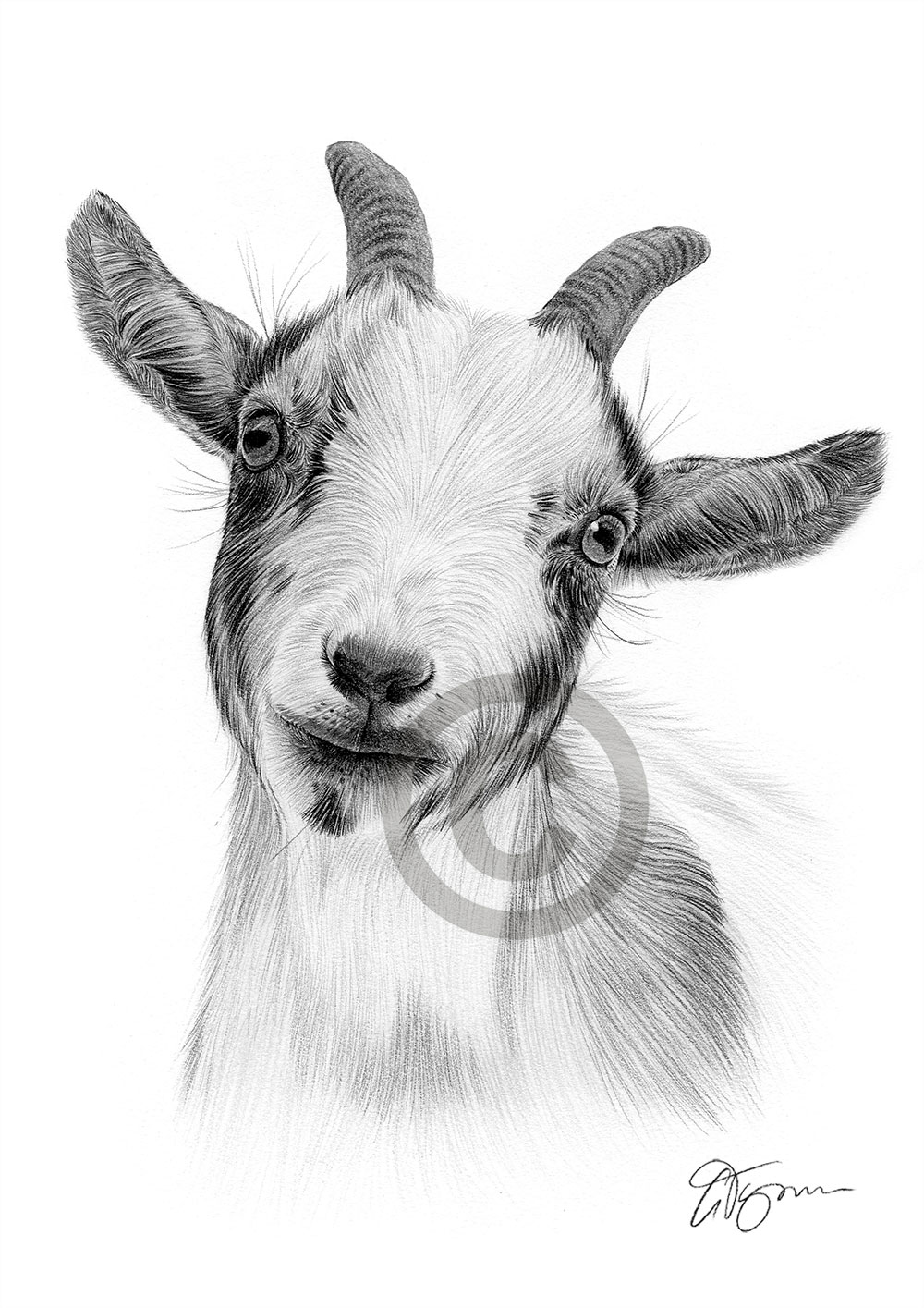 Pencil drawing of a pygmy goat by artist Gary Tymon