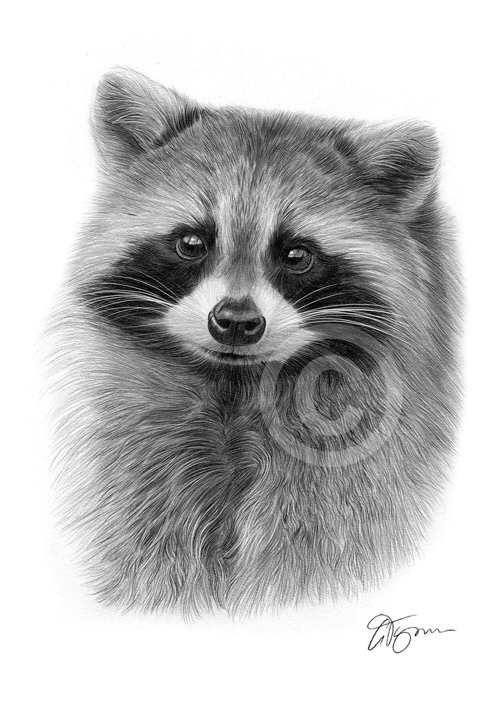 RACCOON pencil drawing art print A3 / A4 sizes signed ... Raccoon Drawing