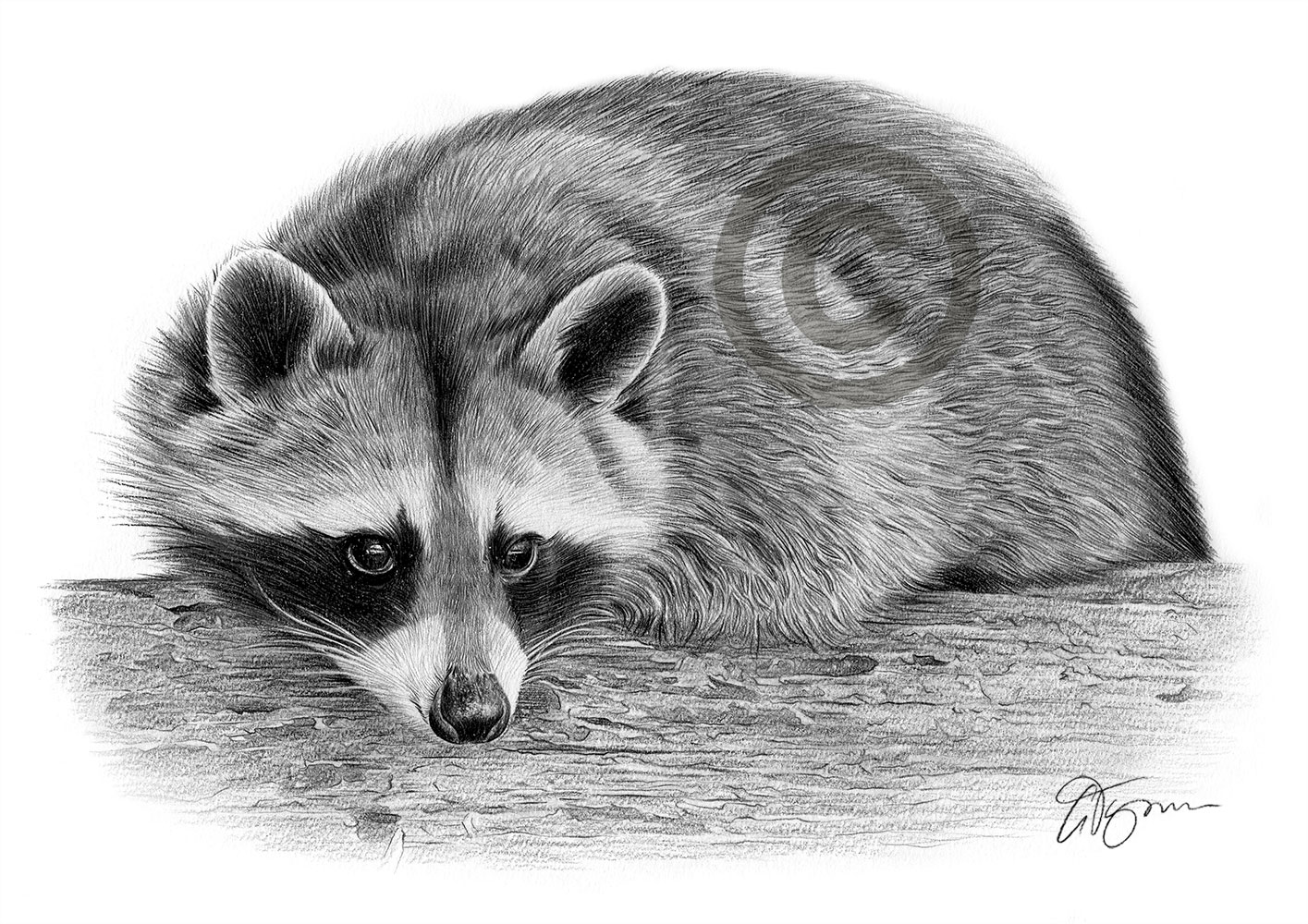 Pencil drawing of an adult raccoon by artist Gary Tymon