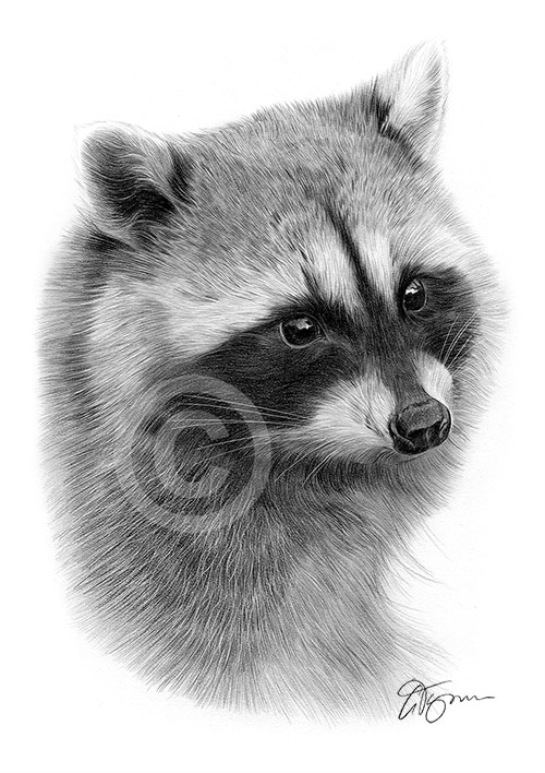 Raccoon pencil drawing