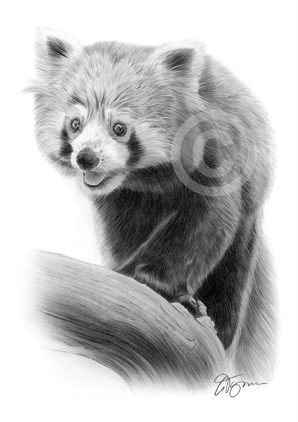 Pencil drawing of a red panda by artist Gary Tymon