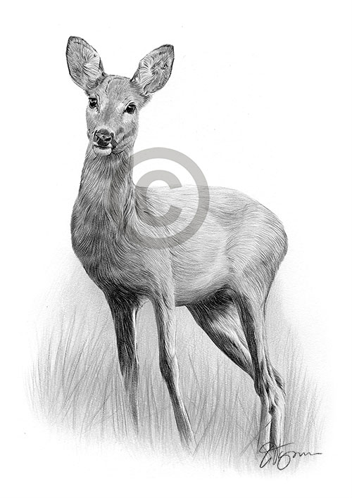 Roe Deer pencil drawing thumbnail