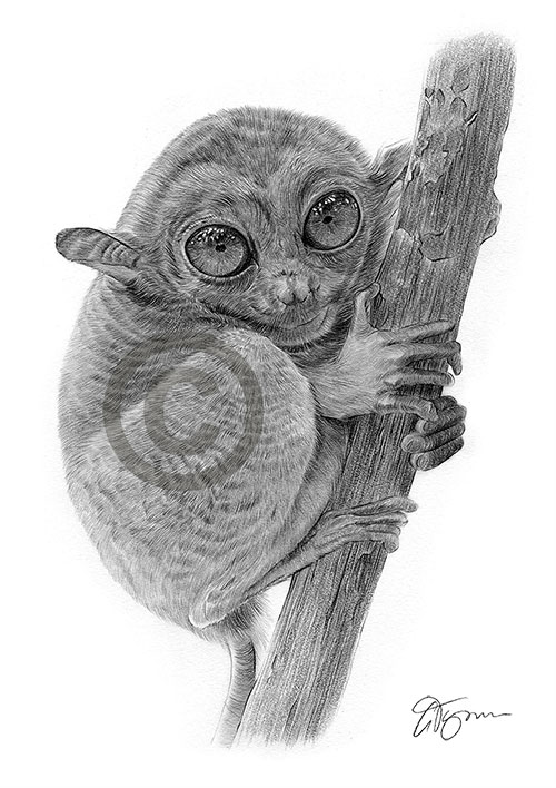 Pencil drawing of a Tarsier Monkey