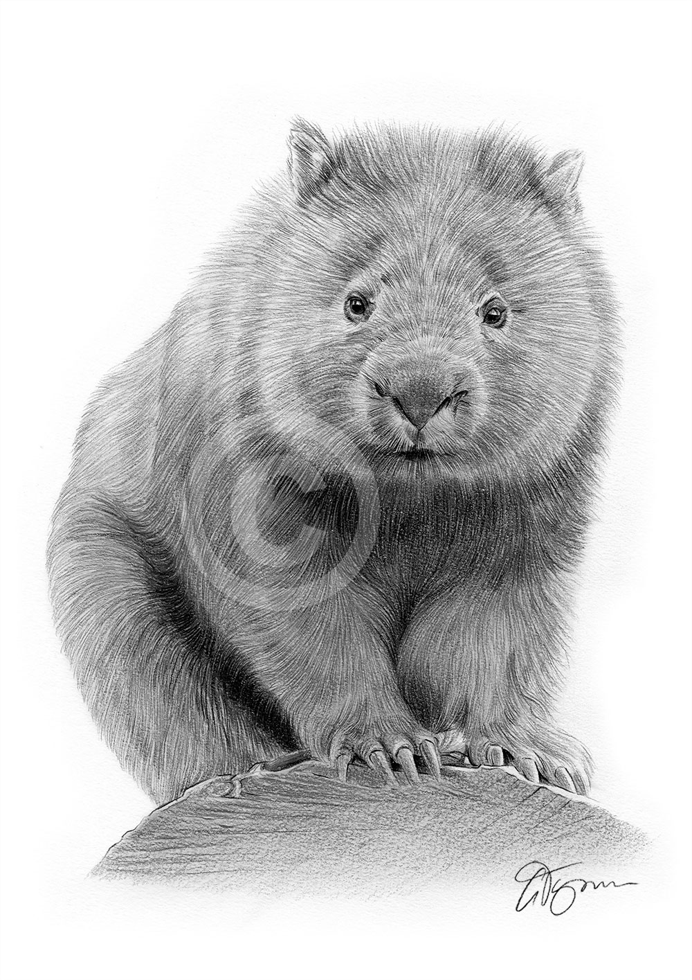 Pencil drawing of a wombat by artist Gary Tymon